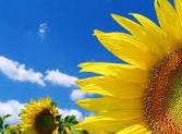 slunecnice_leto