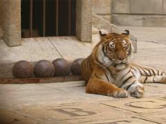 Tygr v pevnosti Boyard, foto: FTV Prima